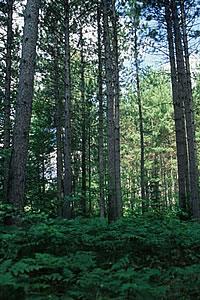Deerskin Pine Forest, photo by Bob Queen