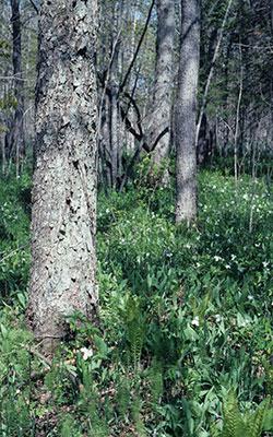 Perkinstown Hemlock-Hardwood Forest, photo by WDNR
